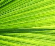 Het Verlof van de palm Royalty-vrije Stock Afbeeldingen