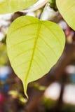 Het verlof van Pho of van bodhi in het bos Stock Afbeelding