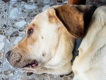 Het vermoeide hond rusten royalty-vrije stock foto's