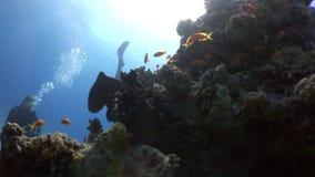 Het vermomde verbergen van Octopusaeginae in koraal onderwater Rode overzees stock footage