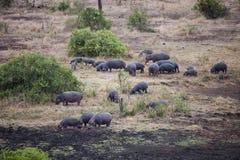 Het vernomen Hippo-voeden stock foto's
