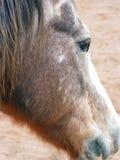 Het verouderen het Profiel van het Paard Royalty-vrije Stock Fotografie
