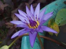 Het verrukken van purpere bloem op groene bladachtergrond in Thailand stock foto's