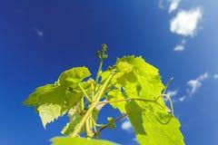 Het verschijnen van bloemknoppen op wijnstok jonge spruiten Stock Foto's