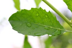 Het verse blad, Groen blad met waterdruppeltjes sluit omhoog stock foto's