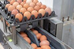 Het verse ei sorteren en sorteermachine, rangei in gewicht en grootte stock afbeeldingen