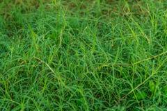 Het verse gras met dauw daalt dicht omhoog in de installatie Royalty-vrije Stock Fotografie
