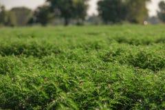 Het verse Groene die Kekersgebied, Kekers ook als harbara of harbhara in hindi en Cicer worden bekend is wetenschappelijke naam, stock afbeelding