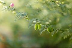 Het verse Groene die Kekersgebied, Kekers ook als harbara of harbhara in hindi en Cicer worden bekend is wetenschappelijke naam, stock fotografie