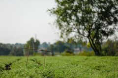 Het verse Groene die Kekersgebied, Kekers ook als harbara of harbhara in hindi en Cicer worden bekend is wetenschappelijke naam, stock foto's