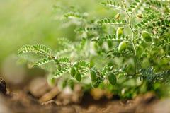 Het verse Groene die Kekersgebied, Kekers ook als harbara of harbhara in hindi en Cicer worden bekend is wetenschappelijke naam, stock foto