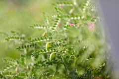 Het verse Groene die Kekersgebied, Kekers ook als harbara of harbhara in hindi en Cicer worden bekend is wetenschappelijke naam, royalty-vrije stock foto