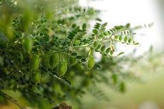 Het verse Groene die Kekersgebied, Kekers ook als harbara of harbhara in hindi en Cicer worden bekend is wetenschappelijke naam, royalty-vrije stock foto's