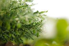 Het verse Groene die Kekersgebied, Kekers ook als harbara of harbhara in hindi en Cicer worden bekend is wetenschappelijke naam, stock afbeeldingen