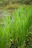 Het verse groene groeien van de Rijst Stock Afbeelding