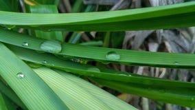 Het verse groene lange blad die van Pandan Pandanus-amaryllifolius kweken royalty-vrije stock foto's