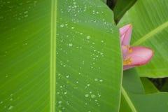 Het verse groene pinnately parallelle patroon van het venationblad met waterdruppeltjes, roze bloemblaadjes van het bloeien Banaa stock afbeelding