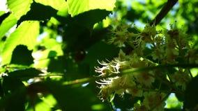 Het verse jonge groene heldere de zonlicht van de kastanjebloei, sluit omhoog geschoten stock footage