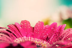 Het verse natte close-up van de gerberabloem bij de lente wijnoogst Stock Foto's
