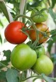 Het verse ruwe tomaten groeien Stock Afbeeldingen