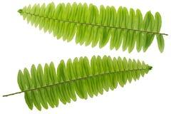 Het verse weelderige takje van het Varenblad, groene die bladeren op wit worden geïsoleerd Stock Foto's