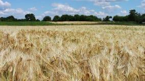 Het verspreiden zich in de windaartjes Gebied met aartjes van tarwe op mooi natuurlijk landschap stock video