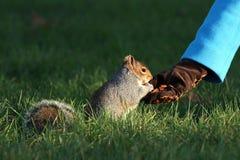 Het verstrekken van voedsel voor de eekhoorns in de winter Stock Foto's