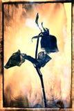 Het verwelken Rose With Abstract Background Stock Foto's