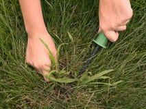 Het verwijderen van Crabgrass Royalty-vrije Stock Foto's