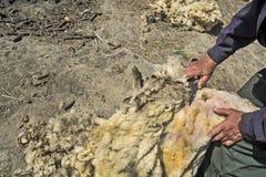 Het verwijderen van een wol met de schapen Royalty-vrije Stock Foto's