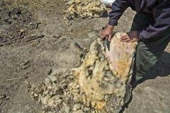 Het verwijderen van een wol met de schapen Stock Afbeeldingen