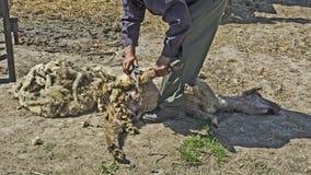 Het verwijderen van een wol met de schapen Royalty-vrije Stock Fotografie