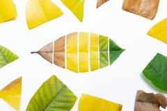 Het verwijderen van secties van verschillende bladeren om blad veranderend van langzaam verdwenen aan vers omhoog te maken stock afbeelding