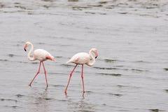 Het verwijderen zich van de flamingo Royalty-vrije Stock Fotografie