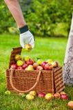 Het verzamelen van appelen aan de mand Stock Afbeeldingen