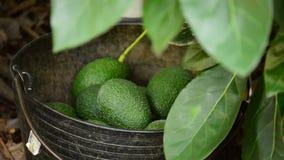 Het verzamelen van avocado'sfruit stock video