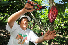 Het verzamelen van cacaopeulen Stock Foto's