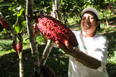 Het verzamelen van cacaopeulen Royalty-vrije Stock Foto's