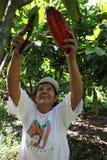 Het verzamelen van cacaopeulen Stock Foto