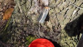 Het verzamelen van van de het sap de vroege lente van de berkboom langzame geanimeerde video stock videobeelden