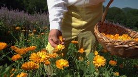 Het verzamelen van gele bloemen stock footage