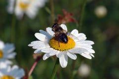 Het verzamelen van honing royalty-vrije stock foto's