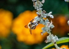 Het verzamelen van nectar is deze bezige het werk bij stock afbeelding