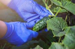 Het verzamelen van oogst van komkommers Royalty-vrije Stock Foto's