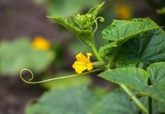 Het verzamelen van oogst van komkommers Royalty-vrije Stock Afbeeldingen