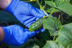 Het verzamelen van oogst van komkommers Royalty-vrije Stock Afbeelding