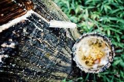 Het verzamelen van organisch rubber van een boom in Zuidoost-Azië royalty-vrije stock afbeelding