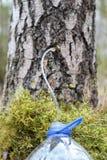 Het verzamelen van sap van berkboom Stock Foto