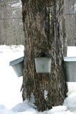 Het verzamelen van stroop van boom Stock Foto