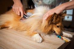 Het verzorgen met een hondborstel op een herdershond van Shetland stock foto